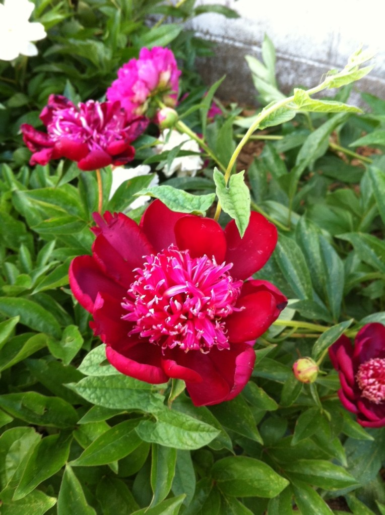 Pink peony bloom nearest the tulips.