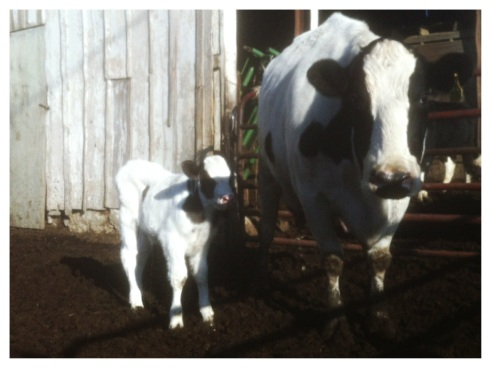 896 and her bull calf