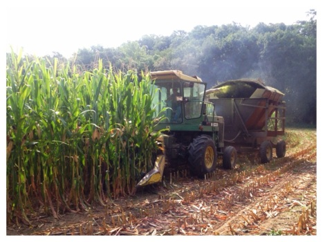 cornsilage.jpg