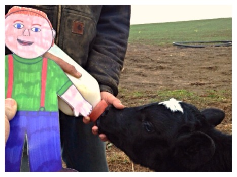 Flat Aggie helped feed a new calf his bottle.