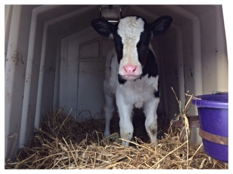 One of our young calves staying warm in the back of it's hut.  You can see its bedding is almost as deep as it's knees.