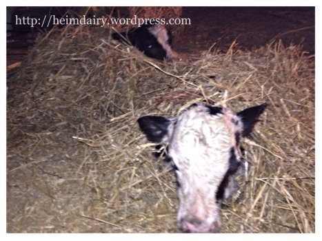 Newborn twin calves