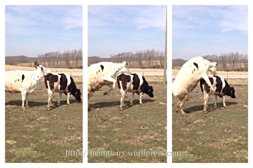 Cattle Standing Heat